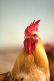 Primer del gallo Foto de archivo libre de regalías