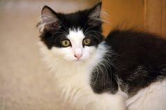Primer del gatito largo nacional blanco y negro del pelo fotografía de archivo libre de regalías