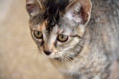 Primer del gatito nacional de la concha del pelo corto en refugio para animales imagen de archivo