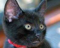 Primer del gatito negro de pelo corto Foto de archivo