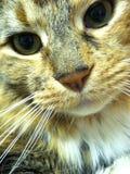 Primer del gato Fotos de archivo