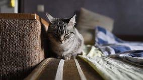 Primer del gato americano del shorthair que duerme en la cama almacen de metraje de vídeo