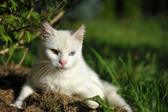 Primer del gato blanco con heterochromia Foto de archivo