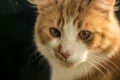 Primer del gato del jengibre Fotos de archivo