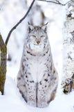 Primer del gato orgulloso del lince en el bosque del invierno Fotos de archivo