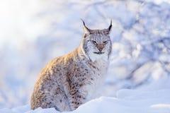 Primer del gato orgulloso del lince en la puesta del sol del invierno Fotos de archivo libres de regalías