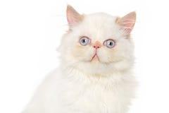 Primer del gato persa Fotografía de archivo