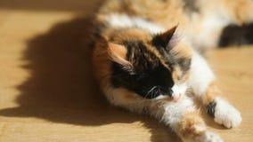 Primer del gato tres-coloreado que miente en el piso y que se lame Animal doméstico que se lava del gato del piso casero plano li almacen de video