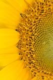 Primer del girasol Imagen de archivo libre de regalías
