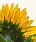 Primer del girasol bajo luz del sol fotografía de archivo