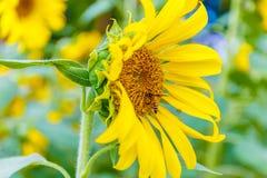 Primer del girasol con la abeja Imagen de archivo libre de regalías