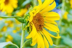 Primer del girasol con la abeja que se sienta en ella Fotografía de archivo