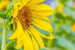 Primer del girasol con la abeja que se sienta en ella Fotos de archivo