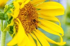 Primer del girasol con la abeja que se sienta en ella Imágenes de archivo libres de regalías