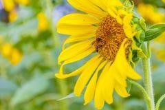 Primer del girasol con la abeja que se sienta en ella Foto de archivo