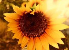 Primer del girasol en la puesta del sol foto de archivo libre de regalías