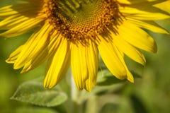 Primer del girasol, girasol amarillo brillante, foco selecto Imagen de archivo