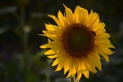 Primer del girasol y de la abeja en fondo verde oscuro Foto de archivo libre de regalías