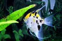 Primer del Goldfish de las zonas tropicales Imagen de archivo libre de regalías