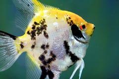 Primer del Goldfish de las zonas tropicales Foto de archivo