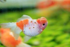 Primer del Goldfish de las zonas tropicales Imágenes de archivo libres de regalías