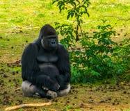 Primer del gorila occidental occidental que se sienta en la hierba, especie críticamente en peligro del primate de África fotografía de archivo libre de regalías