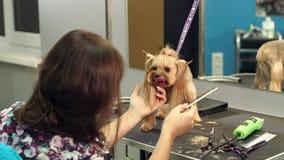Primer del groomer profesional que peina peque?o Yorkshire Terrier almacen de video
