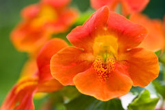 Primer del grupo de la flor del mono Fotografía de archivo