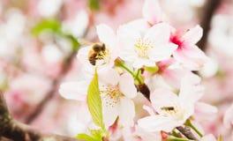 Primer del grupo poco Sakura y abeja blancos en Taiwán Fotografía de archivo