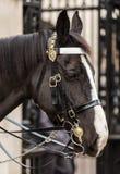 Primer del guardia real Horse del ` s de la reina Fotografía de archivo libre de regalías
