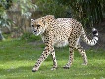 Primer del guepardo africano Imagen de archivo