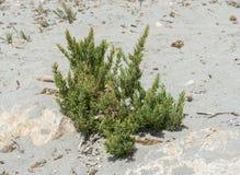 Primer del haber seepweed, spicata de Suaeda Foto de archivo libre de regalías