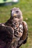 Primer del halcón/del halcón fotos de archivo libres de regalías