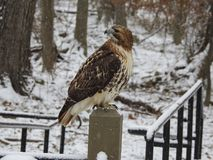 Primer del halcón atado blanco salvaje en posts Foto de archivo