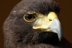Primer del halcón iluminado por el sol de Harris que parece derecho Foto de archivo