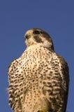 Primer del halcón de peregrino Foto de archivo libre de regalías