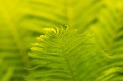 Primer del helecho con luz del sol Los helechos se pueden utilizar como fondo selectivo Fotos de archivo