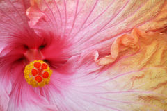 Primer del hibisco Imagen de archivo libre de regalías