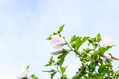 Primer del hibisco Imagenes de archivo