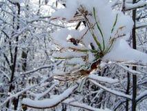 primer del hielo que cubre las fotos de pino de una rama-acción del árbol Imagen de archivo