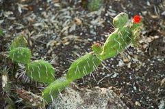 Primer del higo chumbo con las floraciones Imagen de archivo