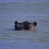 Primer del hipopótamo Foto de archivo libre de regalías