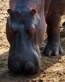 Primer del hipopótamo Fotos de archivo