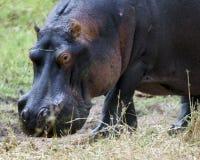 Primer del hipopótamo fuera del agua Foto de archivo