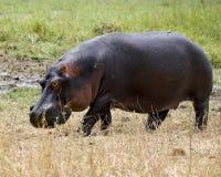 Primer del hipopótamo fuera del agua Fotografía de archivo