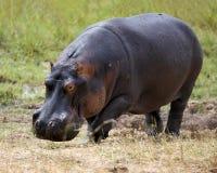 Primer del hipopótamo fuera del agua Fotos de archivo