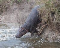 Primer del hipopótamo que resbala abajo del banco dentro del río Imagen de archivo