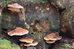 Primer del hongo colorido del árbol en un tronco de árbol en invierno en un bosque en Kassel en Alemania fotografía de archivo