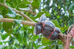 Primer del injerto en rama de árbol de cal en el jardín Fotografía de archivo