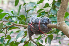 Primer del injerto en rama de árbol de cal en el jardín imagenes de archivo